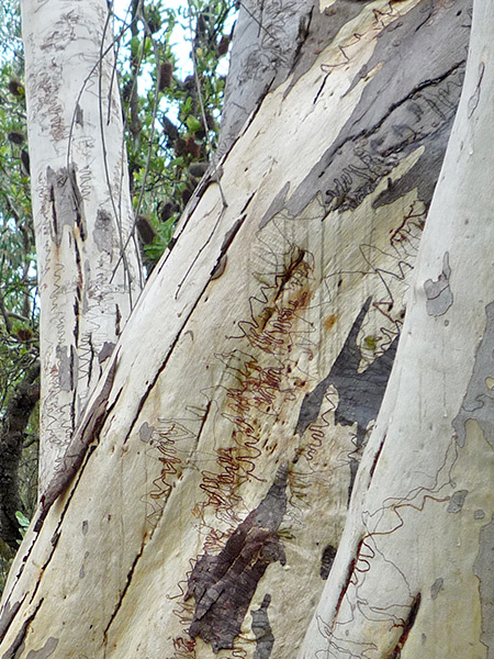 scribbly-gum-07