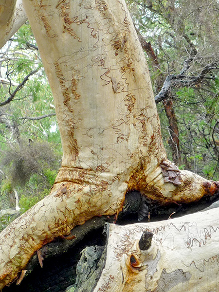 scribbly-gum-13
