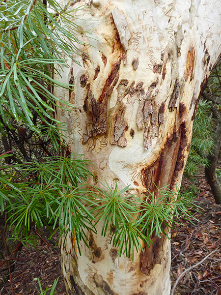 scribbly-gum-18