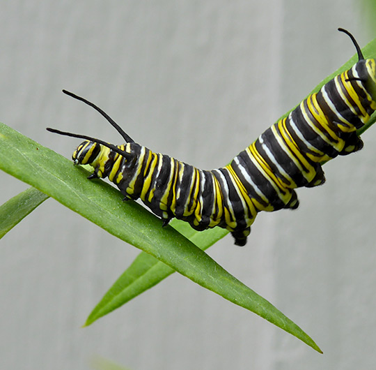 monarch-caterpillars-6