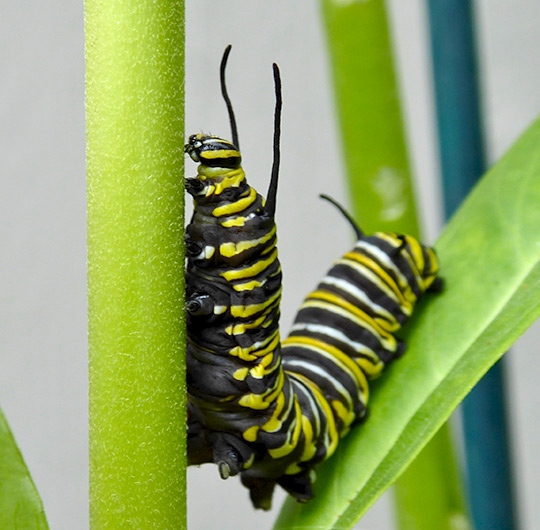 monarch-caterpillars-8